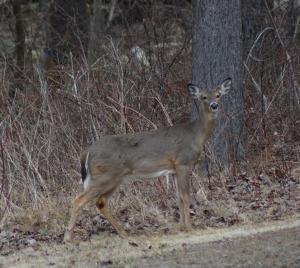 deer at edge of brush