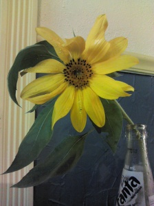 Sunflower in Fanta bottle
