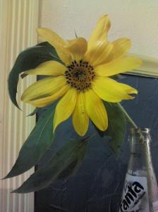 Sunflower in Fanta bottle